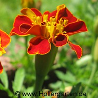 Rote Tagetes